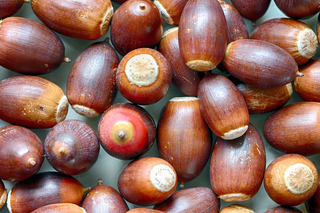 Acorns before sorting and drying