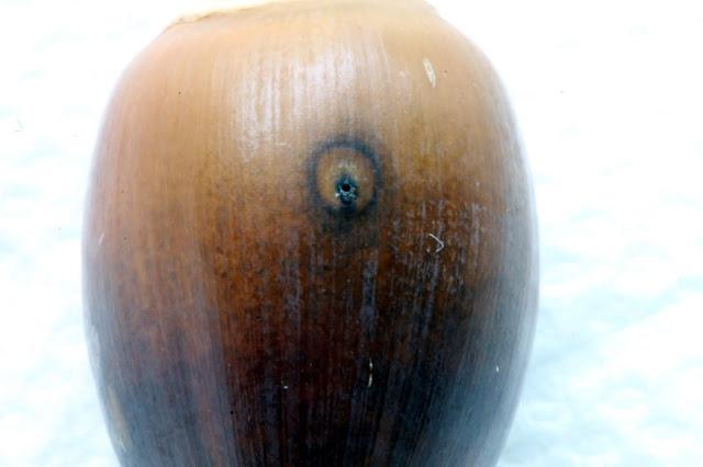 Acorn Weevil hole